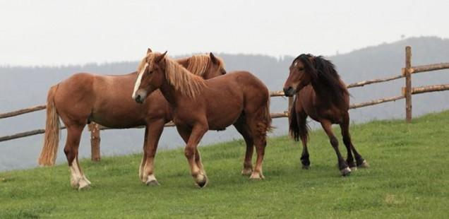 Коні на полонині Росохата